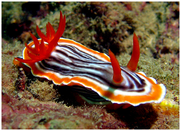 nudibranches diving